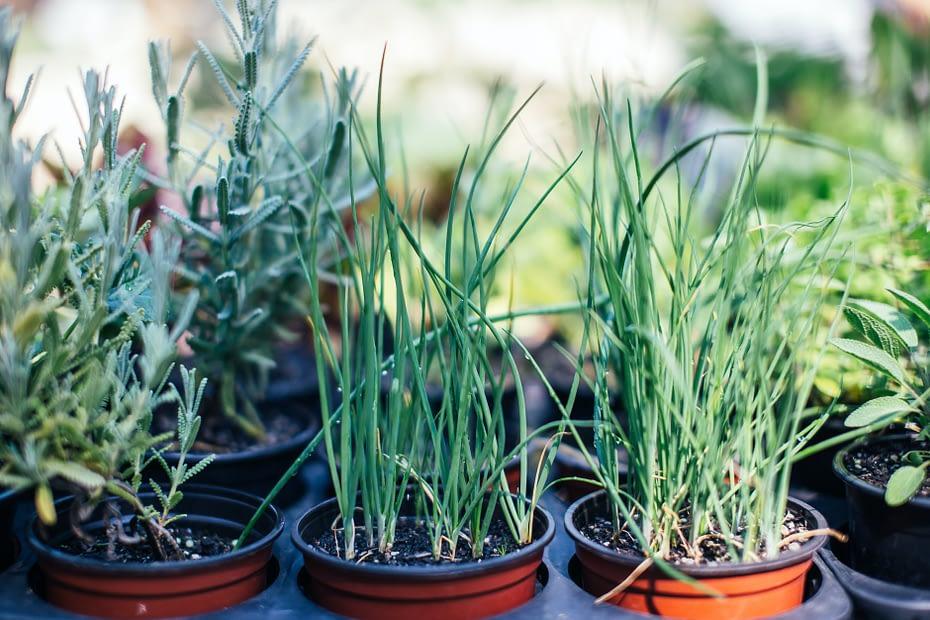 green grass growing in pots in summer