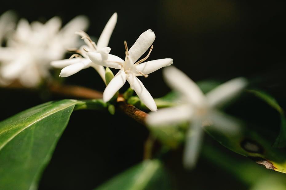 blooming flowers on arabian coffee plant in countryside